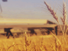 Wheat plants sway in the wind while a thresher advances in the background