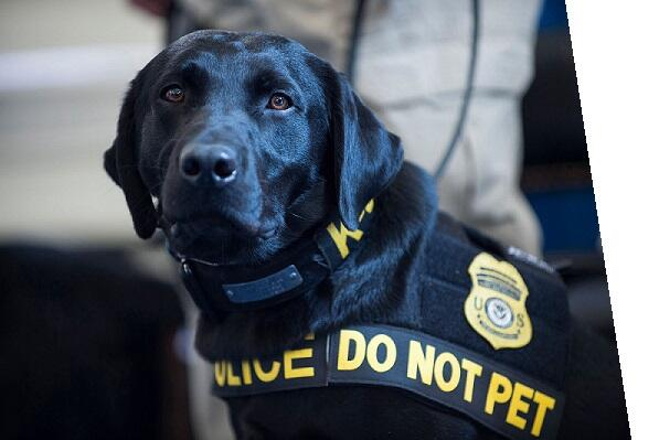 Detection canine dog